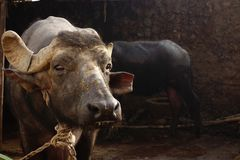 Portrait of an Old Buffalo Bull Stock Image