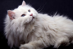 Portrait of the old cat. Royalty Free Stock Photography