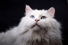Portrait of the old cat. Royalty Free Stock Photo