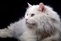 Portrait of the old cat. Royalty Free Stock Image