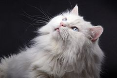Portrait of the old cat. Royalty Free Stock Photos