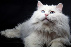 Portrait of the old cat. Royalty Free Stock Images