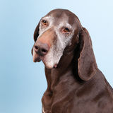 Portrait old dog Stock Photography