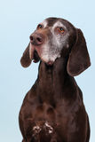 Portrait old dog Royalty Free Stock Image