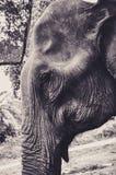 Portrait of an Elephant in Thailand. Portrait of an Old Elephant in Thailand Royalty Free Stock Photography
