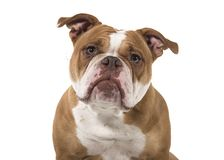 Portrait of an old english bulldog leaning forward and looking at the camera on a white background. Portrait of an old english bulldog leaning forward and stock photo