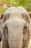The portrait of old female Asia elephant Stock Photo