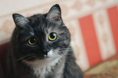 Portrait of old female grey cat Royalty Free Stock Photo