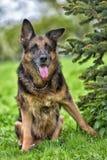 Portrait of an old German Shepherd Royalty Free Stock Image