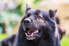Portrait of an Old German Shepherd. Head portrait picture of an Old German Shepherd dog Stock Image