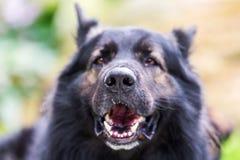 Portrait of an Old German Shepherd. Head portrait picture of an Old German Shepherd dog Stock Photography
