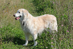 Portrait of old Golden Retriever Dog. A beautiful white  elderly golden retriever standing in field of flowers Royalty Free Stock Photos