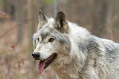 Portrait of an Old Grey Wolf Stock Images