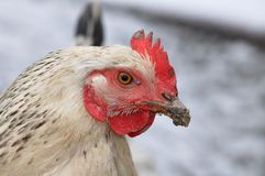 Hen portrait. Portrait of old hen with dirt on beak and blurry background Stock Images