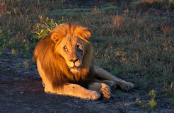 Portrait of an old male lion in Africa. An old male lion lying in golden morning light in the Madikwe Game Reserve, South Africa stock photo