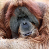 Portrait old male Orangutan Stock Photography