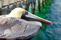 Portrait of an old pelican Royalty Free Stock Photography