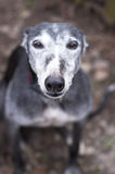 Portrait of old rescued grey-haired greyhound. Outdoors royalty free stock photography