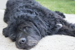 Portrait of an old and tired black dog lying in the backyard Stock Photos