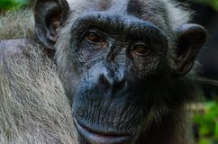 Portrait of old white chimp with calm look Stock Photography