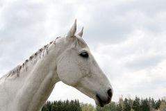 Portrait of old white horse Royalty Free Stock Photography