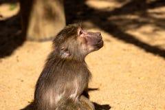 Portrait of Old World hamadryas baboon adult female monkey stock images
