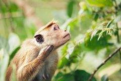 The portrait of Old World monkey representative in the leaves of Sri Lanka jungles Stock Image