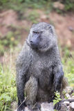 Portrait of Olive Baboon Royalty Free Stock Images