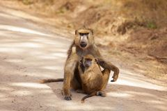 Olive Baboon mother with baby at African savannah. Portrait of Olive Baboon mother with baby sitting on the ground of African savannah royalty free stock photography