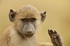 Portrait of an Olive Baboon Royalty Free Stock Image