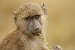 Portrait of an Olive Baboon Royalty Free Stock Photos