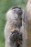 Portrait of olive baboon on a tree Stock Image