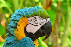 Portrait of a сolorful parrot Royalty Free Stock Photo