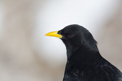 Portrait one alpine chough Pyrrhocorax graculus Royalty Free Stock Image