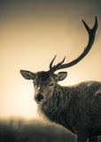 Portrait Of  One Antler Red Deer Stag Royalty Free Stock Photography