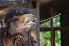 Portrait one camel dark brown color, teeth visible, mouth open. Teeth in the branch, animal head with the edge of the picture, on the background a wooden Stock Photography