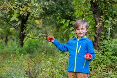 Portrait of one cute boy in a hat in the garden with a red apple, emotions, happiness, food. Autumn harvest of apples stock images