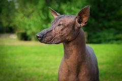 Portrait of one dog of Xoloitzcuintli breed, mexican hairless dog of black color, standing outdoors on ground with green grass and. Trees on background on royalty free stock photos