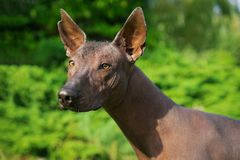 Portrait of one dog of Xoloitzcuintli breed, mexican hairless dog of black color, standing outdoors on ground with green grass and. Trees on background on stock photo