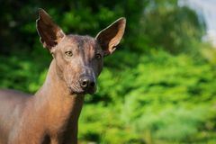 Portrait of one dog of Xoloitzcuintli breed, mexican hairless dog of black color, standing outdoors on ground with green grass and. Trees on background on stock images