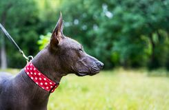 Portrait of one dog of Xoloitzcuintli xolo breed, mexican hairless dog of black color in a red collar, outdoors with green grass. And trees on background stock photos