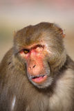 Portrait of one-eyed Rhesus macaque (Macaca mulatta) in Galta Te Royalty Free Stock Photography