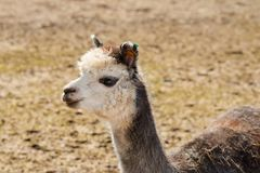 One portrait of a gray alpaca. Portrait of one gray alpaca in a Lithuanian farm in the spring Royalty Free Stock Images