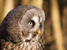 Portrait of one of largest owl - Great grey owl - Strix nebulosa. Detail of head of great gray owl - Strix nebulosa royalty free stock images