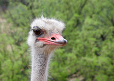 Portrait of one male ostrich, looking slightly to viewers right. Green bushes in background. The ostrich is a large flightless birds native to Africa. Males Stock Photography