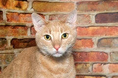 Portrait of one orange tabby cat. Portrait of an orange ginger tabby cat looking directly at viewer. Brick wall background Stock Photography
