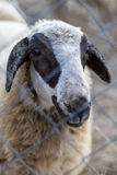 Portrait of one sheep behind a barbed wire fence. Selective Focus royalty free stock photography
