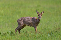 Portrait of one young female roe deer standing in meadow Royalty Free Stock Photos