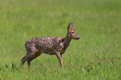 Portrait of one young female roe deer standing in meadow Royalty Free Stock Photo