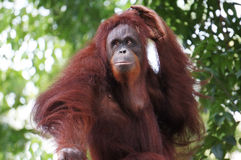 Portrait of Orang Utan. Grasping his hair Stock Image